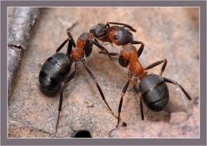 Мыравьи